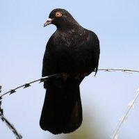 Черный голубь. :: Александр Шипиленко