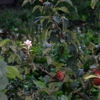 Зацвела яблоня в сентябре :: Сергей и Ирина Хомич