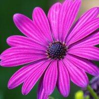 "Остеоспермум ""Akila Purple"" :: Alm Lana"