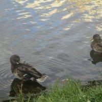 Утки на пруду. :: Зинаида