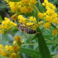 Пчела :: Денис Бочкарёв