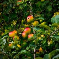 Эх, яблочки... :: Сергей Григорьев