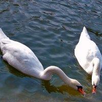 Лебеди. :: Наталья