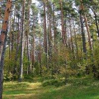 Сосновый лес :: александр пеньков