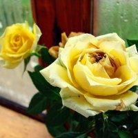 Жёлтые розы. :: ANNA POPOVA