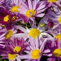 Все цветут хризантемы в саду... :: Татьяна Евдокимова