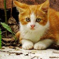 Пугливый, уличный котенок. :: Елена Kазак (selena1965)