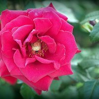все цветы мне надоели кроме розы :: Олег Лукьянов