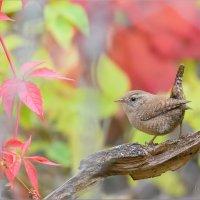 Крапивник в красках осени :: Анна Солисия Голубева