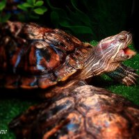Про черепах. :: ANNA POPOVA