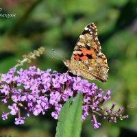 Бабочка :: Давид Манакьян
