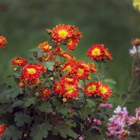...тихое пламя осенних цветов... :: barsuk lesnoi