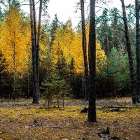 Осень в сосновом лесу :: Олег