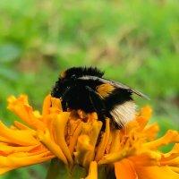 Пчела собирает нектар :: Любовь Чащухина
