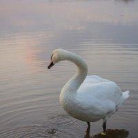 а белый лебедь на пруду... :: Helga Sergeenko