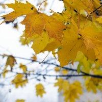 Осенний клен :: Арина