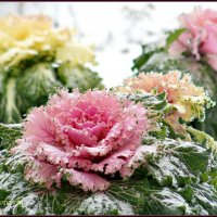 И зимой на клумбах цветы. :: Ольга Митрофанова