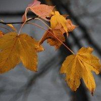Ноябрь в кленовых тонах... :: Tatiana Markova