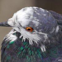 Лохматый голубь :: Дмитрий Svensson
