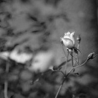 Роза :: Андрей Бойко