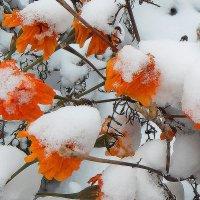 Бархатцы под снегом! :: Валентина  Нефёдова