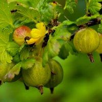 Балтийский,северный виноград! :: Mila .