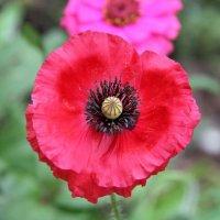 Не знаю краше ангельских цветов, которые зовутся красным маком. :: Андрей Иванович (Aivanovich-2009)