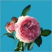 Роза :: Владимир Хатмулин