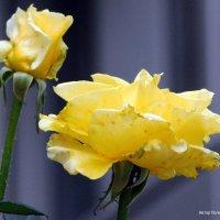Желтые розы. :: Валерьян Запорожченко
