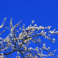 алыча цветет IMG_4259 :: Олег Петрушин