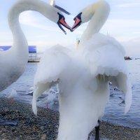 Лебеди :: Sabina