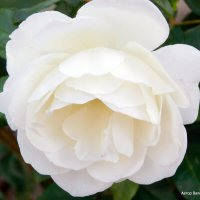 Белая роза. :: Валерьян Запорожченко