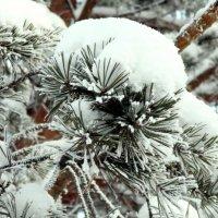 Сосновая веточка в морозный день :: Наталья Пендюк Пендюк