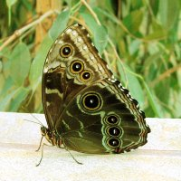 Бабочка-красавица :: Татьяна Трофимова