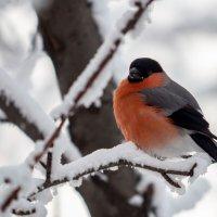 Снегирь :: Олег Мартоник