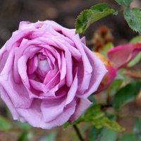 Январская роза :: Елена Даньшина
