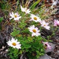 Нежные цветочки в горах :: Галина