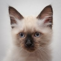 Фото на кошачий паспорт. :: Alexander Schilke
