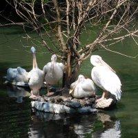 Пеликаны :: Оливер Куин