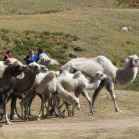 Перегоняют стадо верблюдов :: Галина