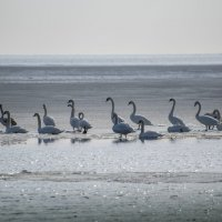 Лебеди :: Александр Довгий
