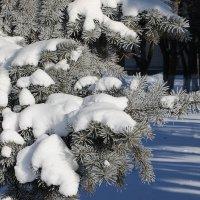 Голубые ели в морозный солнечный день :: Надежд@ Шавенкова