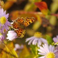 октябрьские бабочки 6 :: Александр Прокудин