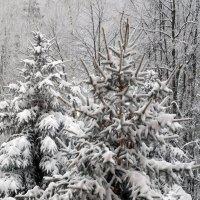Ёлочки в снегу :: Оливер Куин