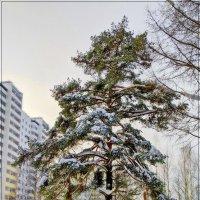 Одинокая сосна. :: Любовь Чунарёва