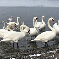 Лебеди на заливе. :: Валерия Комова
