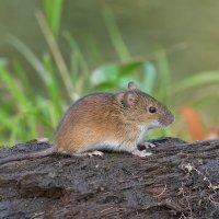 мышка :: Maxim Lanin