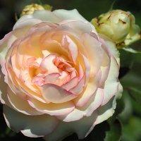 "Роза ""Biedermeier"" :: Alm Lana"