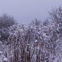 """""""Метёлочки """" в снегу :: Антонина Гугаева"""