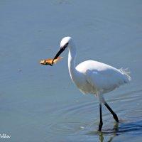 Белая цапля и золотая рыбка :: Николай Волков